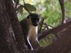 Yellow tailed velvet monkey at monkey park