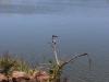 Kingfisher at the lagoon at calypso bar, Cape Point