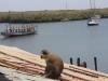 Velvet monkey on Lamin lodge roof